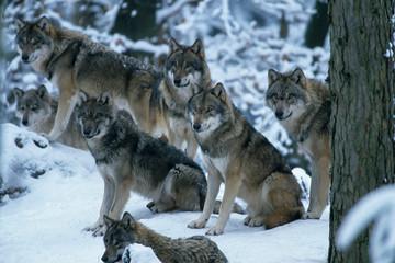 Foto auf Leinwand Wolf European gray wolf (Canis lupus lupus)