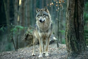 In de dag Wolf European gray wolf (Canis lupus lupus)