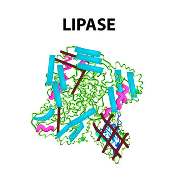 Molecular structural chemical formula Lipase. Enzyme digestive tract lipase. Infographics. Vector illustration on isolated background.