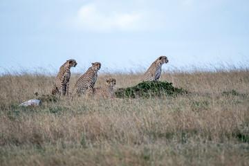 Five cheetahs hiding and walking in field looking for hunt, Maasai Mara