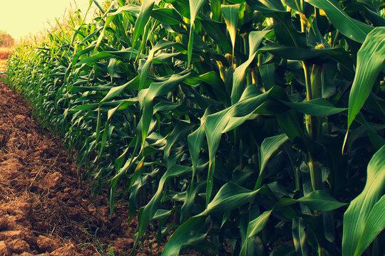 corn field with sunrise