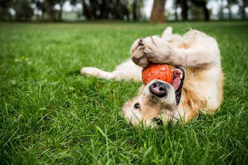 selective focus of golden retriever dog playing with rubber ball on green lawn