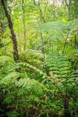 Evergreen fern forest in between the trekking trail. Peaceful rainforest with dense green fern trees background.