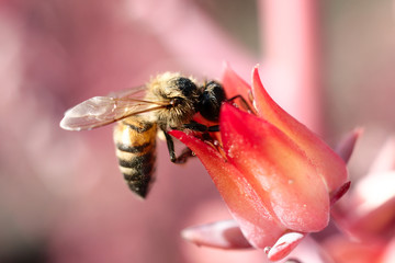 Bee on pink flower at UNAM botanical garden, Mexico