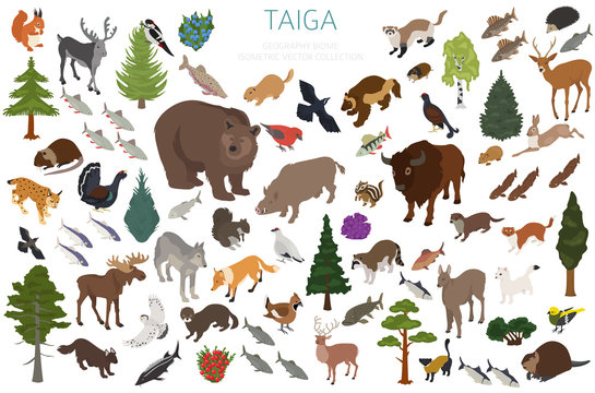 Taiga biome, boreal snow forest 3d isometry design. Terrestrial ecosystem world map. Animals, birds, fish and plants infographic element