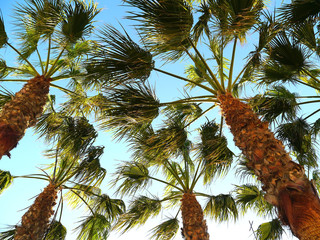 Palm tree with branches and leaves in the bay of the capital of Cadiz, Andalusia. Spain. Europe