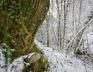 Ivy covers the thick trunk of an old oak in a snowy forest