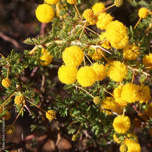 Yellow Ball Shaped Blossoms Of Prickly Moses Acacia Pulchella