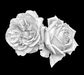 Monochrome bright fine art still life macro portrait of a pair of  isolated  rose blossoms, black background,detailed texture,vintage painting style ,symbolic pair together joint