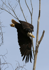Bald Eagle Swooping