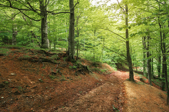 dirt road through beech forest. travel background. summer nature scenery