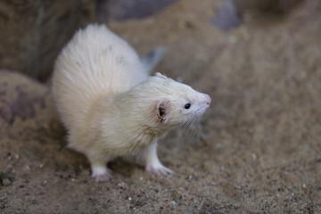 Full body of domestic beige male ferret