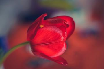 Obraz Czerwony tulipan - fototapety do salonu
