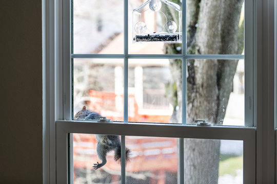 Hungry, smart, intelligent squirrel climbing on window screen mesh to birdfeeder, empty bird feeder with sunflower, white seeds in cold winter sunny weather, Virginia