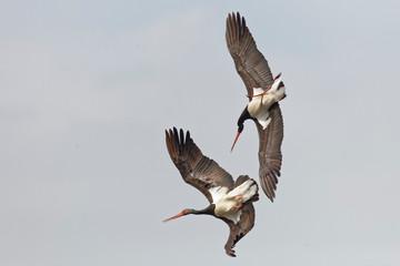 Schwarzstorch, Ciconia nigra, Black Stork