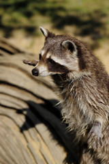 Portrait of adult common raccoon, standing and looking