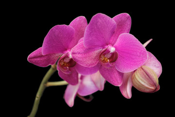 Close-up of pink orchid (Orchidaceae) flower on the black background