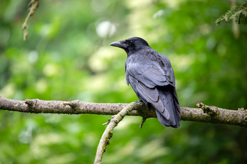 close-up view of beautiful black crow on tree branch