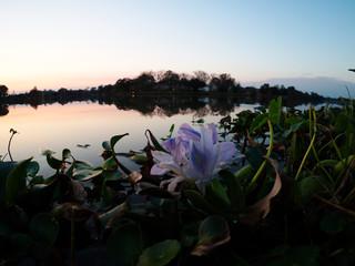 View of LSU lake and water plants at dusk, Baton Rouge, Louisiana, USA