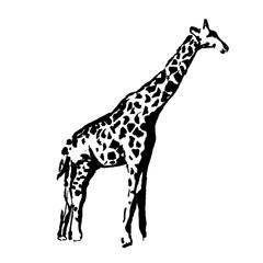 Vector hand drawn illustration of giraffe silhouette