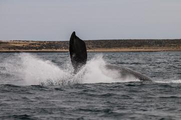 Whale jump, Peninsula Valdes, Patagonia Argentina