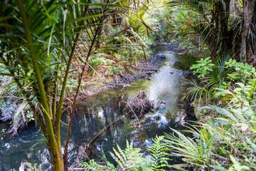 Hiking through New Zealand rainforest fern trees, green wilderness close to KereKere Piha, New Zealand