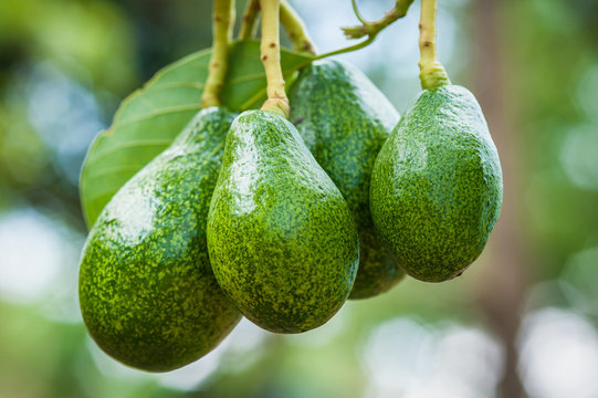 Аvocado fruits hanging on trees in tropical fruit garden