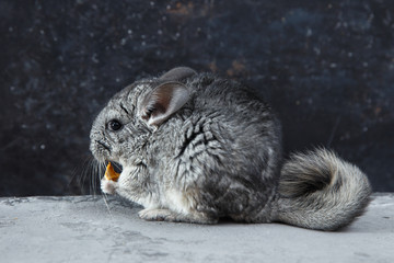 Chinchilla on a dark background
