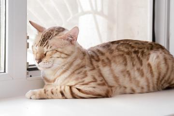 Big beautiful Bengal cat sleeping on the windowsill
