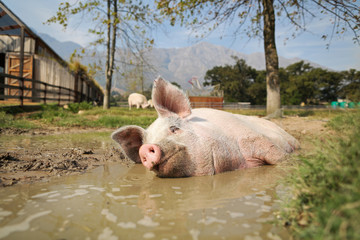 Pigcasso, a rescued pig, cools down in a mud bath after painting at the Farm Sanctuary in Franschhoek