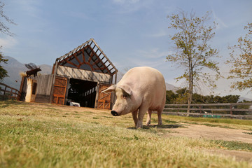 Pigcasso, a rescued pig, goes for a walk after painting at the Farm Sanctuary in Franschhoek