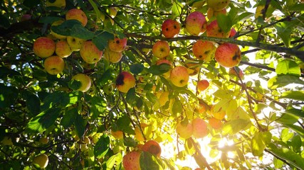 Ripe red apples on a green apple tree branch against sun