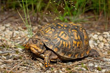 Fotorolgordijn Schildpad Eastern box turtle - Terrapene carolina