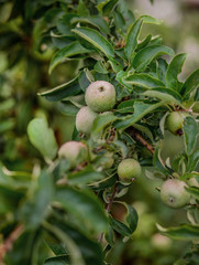 Young green apples on a tree in the garden. Growing organic fruits on the farm.