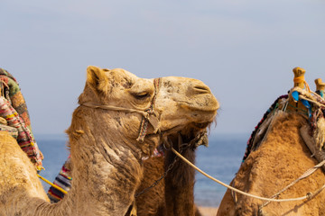 Head of the dromedary from the Sinai Peninsula.The animal is used by Bedouins as beast of burden to transport tourist through the desert sand dunes. Arabian camel (Camelus dromedarius).