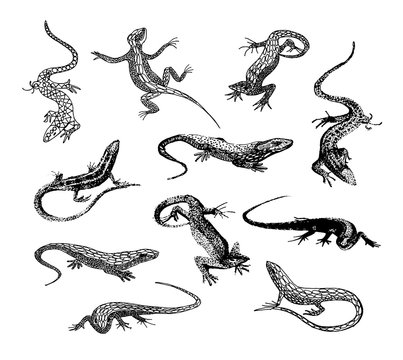 Vector hand drawn illustration of lizard silhouette on white background.
