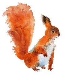 Red squirrel isolated on a white background, watercolor
