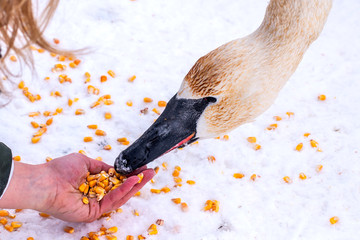A swan is eating corn and nuts from people's hand