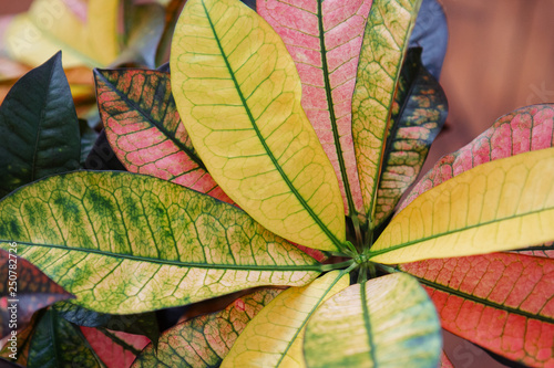 A Colorful Croton Plant Seen From Above  exotic Codiaeum variegatum