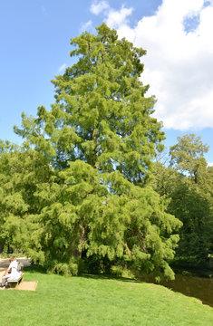 Larch European (Larix decidua Mill.) in the park of San Sushi. Potsdam, Germany