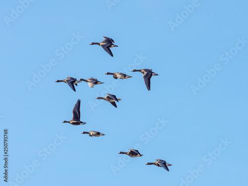 on sale 1cd01 25908 Wildgänse in Flugformation