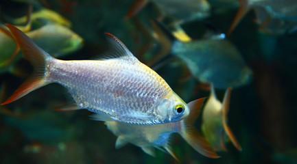 silver barb or Java barb fish red tail swimming in fish tank underwater aquarium