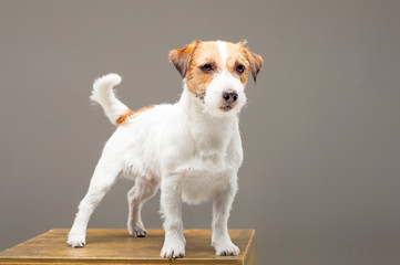 Purebred Jack Russell is standing on the pedestal and looking at the camera