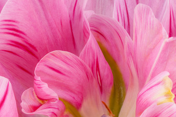 tulip flower backgrounds