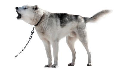 Close up Husky breed photo on white background