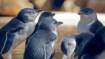 Photo sur Aluminium Pingouin Oiseau manchot nain