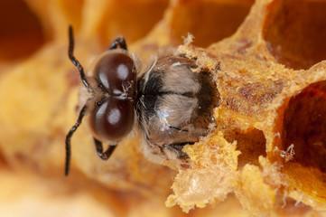 Honigbienen Drohne schlüpft aus Drohnenzelle