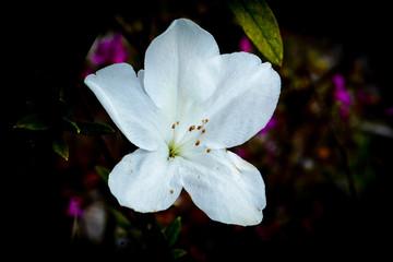 White azalea flower blossoming on nature garden dark background
