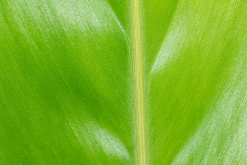 Image of beautiful green leaf. background. Green leaf texture background. Nature.