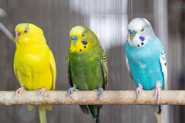 Group of Fancy color Budgerigar Fotomurales